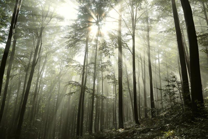 Het bos van de de herfstbeuk op een zonnige nevelige dag stock foto's