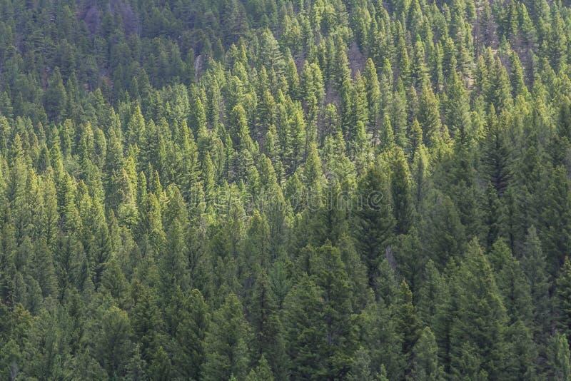 Het bos van de Lodgepolepijnboom, Gallatin Gateway, Montana royalty-vrije stock fotografie