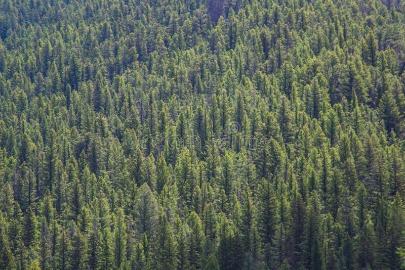Het bos van de Lodgepolepijnboom, Gallatin Gateway, Montana stock afbeeldingen