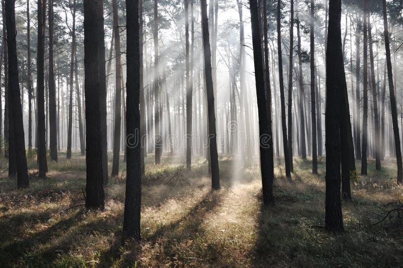 Het bos van de mysticus, zonstralen royalty-vrije stock foto