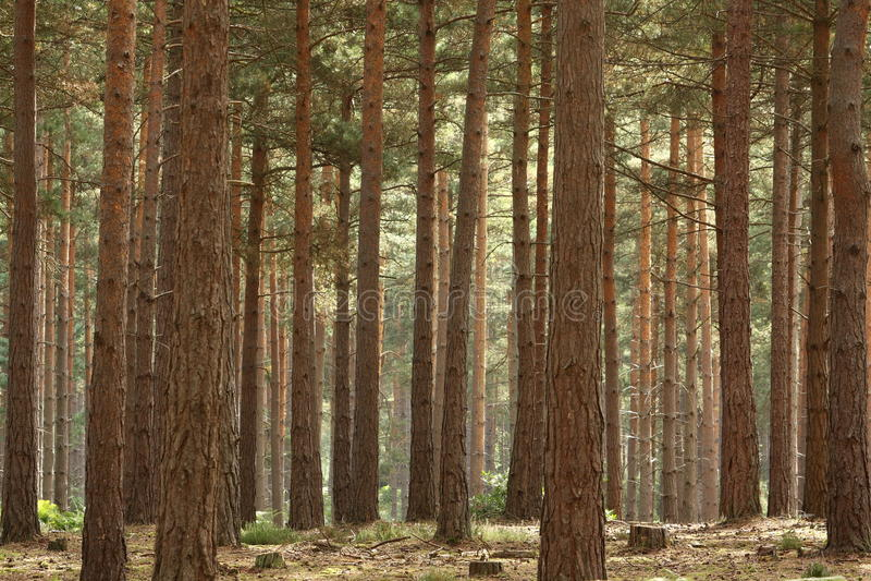Het Bos van de pijnboom royalty-vrije stock afbeelding