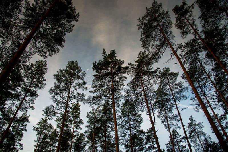 Het bos van de pijnboom bij nacht stock fotografie