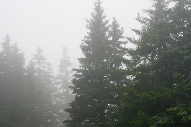Het bos van de pijnboom in dichte mist   royalty-vrije stock foto's