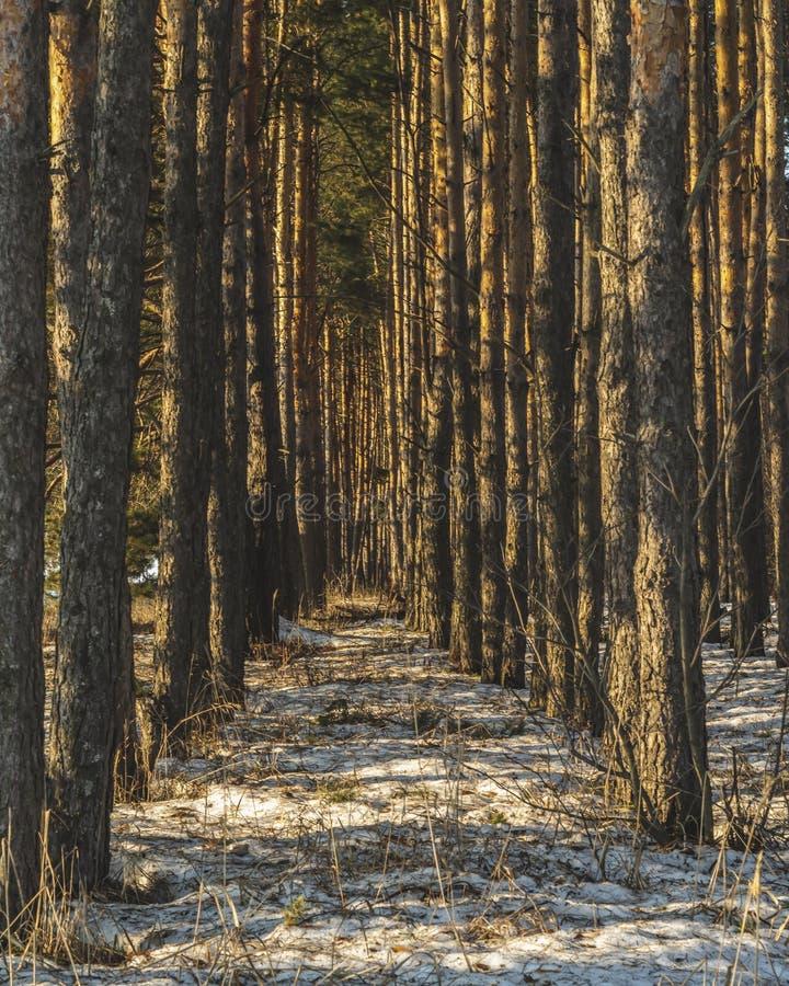 Het bos van de pijnboom in de winter De zon glanst door de bomen Sneeuw behandelde open plek Zonstralen Mooie aard Rusland stock afbeelding