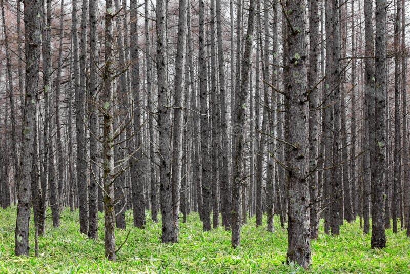 Het bos van de pijnboomboom royalty-vrije stock fotografie