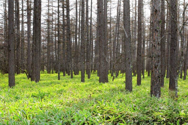 Het bos van de pijnboomboom stock fotografie