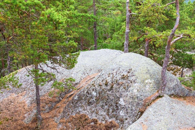 Het bos van de pijnboomboom stock foto's