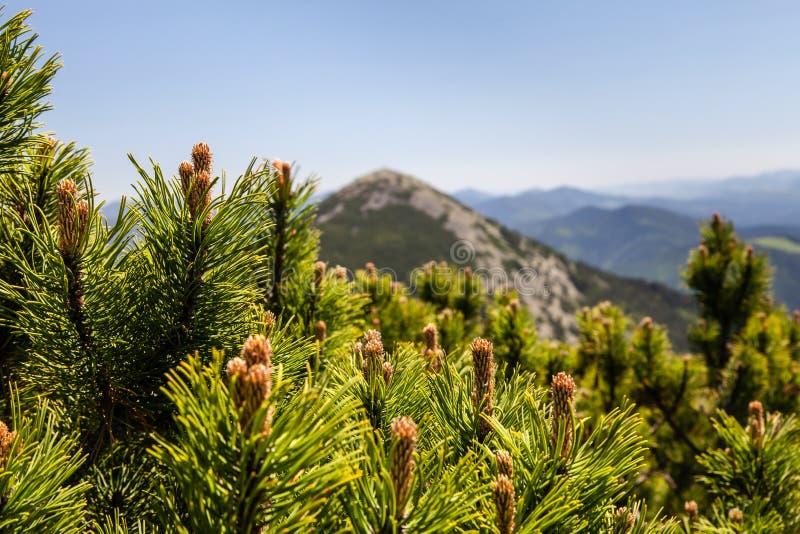 Het Bos van de pijnboomboom in de Bergen op een Dag van Nice royalty-vrije stock afbeelding