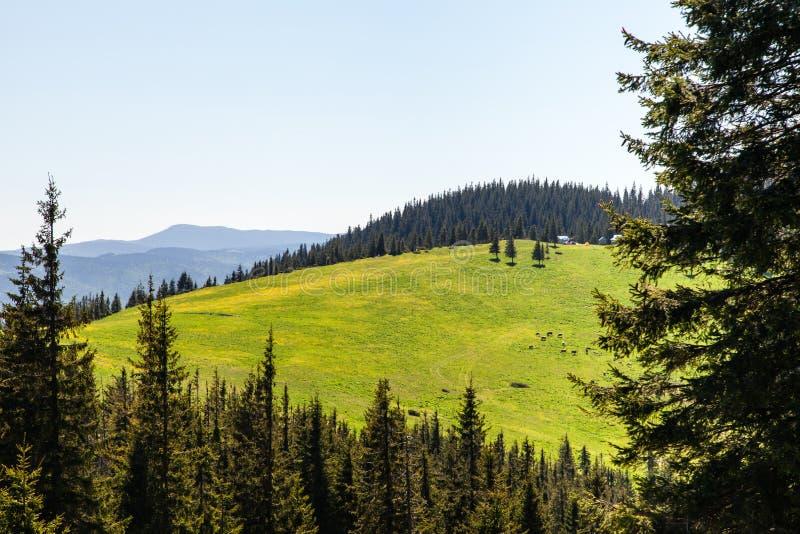 Het Bos van de pijnboomboom in de Bergen op een Dag van Nice royalty-vrije stock fotografie