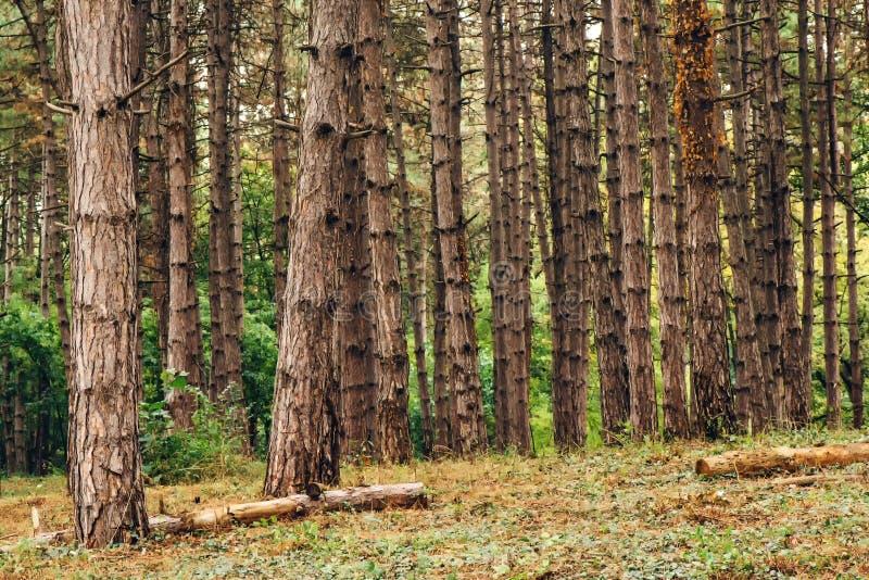 Het bos van de pijnboomboom in de middag van de herfstoktober royalty-vrije stock fotografie