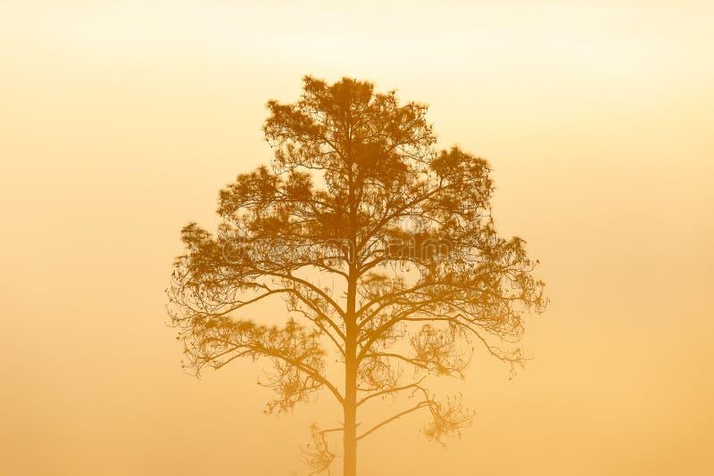 Het bos van de pijnboomboom stock afbeeldingen