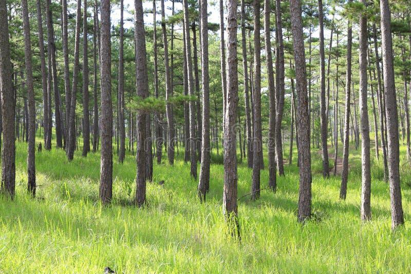 Het bos van de pijnboomboom in zonnige dag royalty-vrije stock foto's