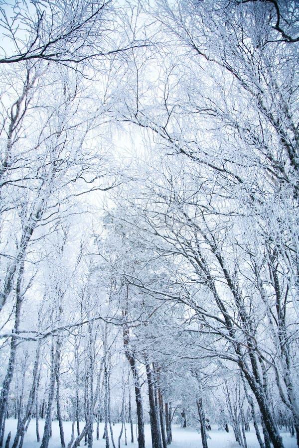 Het bos van de winter. stock foto's