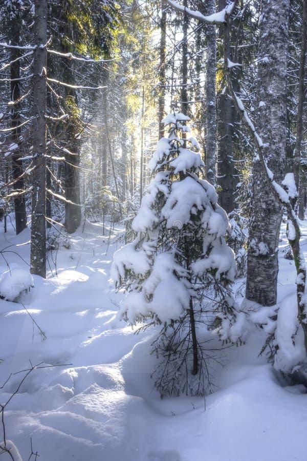 Het bos van de winter, Rusland royalty-vrije stock afbeeldingen