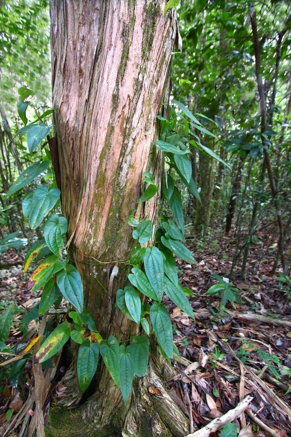 Het Bos van Guajataca van Puerto Rico royalty-vrije stock foto