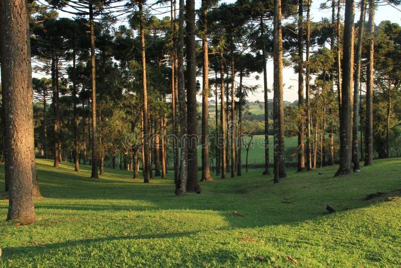 Het bos van het de Boomgebied van Araucá ria stock afbeelding