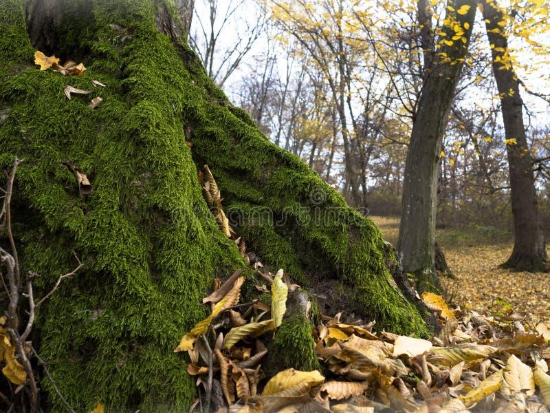 Het bos van het de herfstmos stock afbeelding