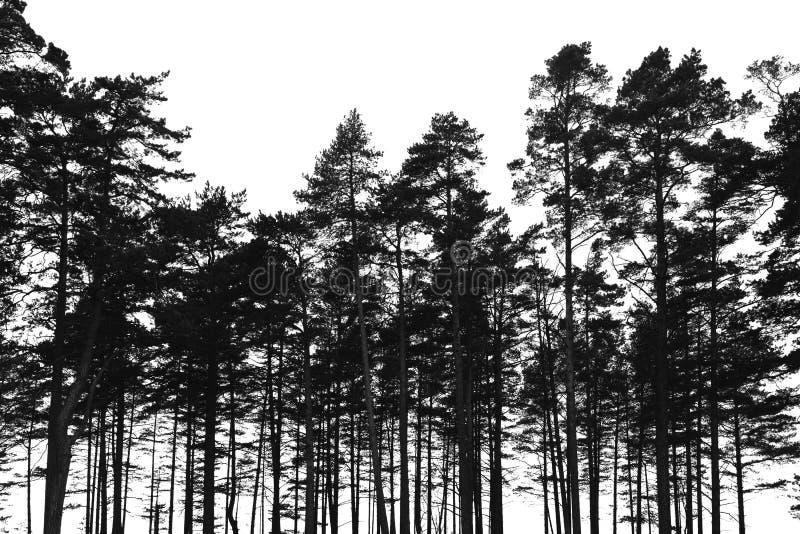 Het bos van pijnboombomen op witte achtergrond wordt geïsoleerd die stock foto
