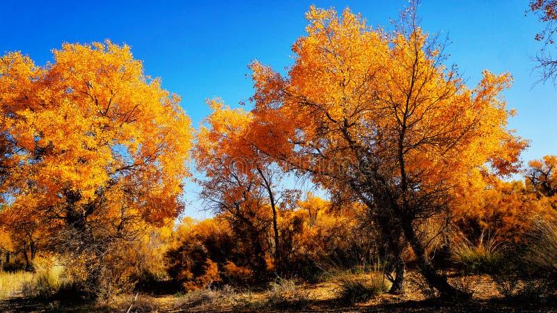 Het bos van Populuseuphratica in Xinjiang royalty-vrije stock foto's