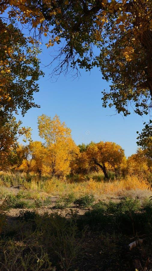 Het bos van Populuseuphratica in Xinjiang royalty-vrije stock foto