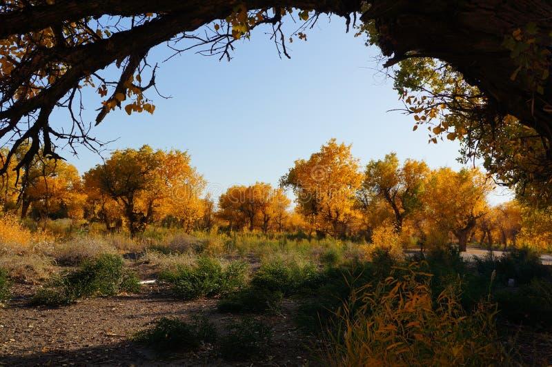 Het bos van Populuseuphratica in Xinjiang stock fotografie