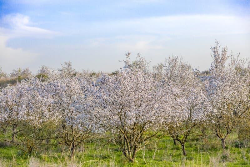 Het bosje van amandelbomen in bloei stock afbeelding