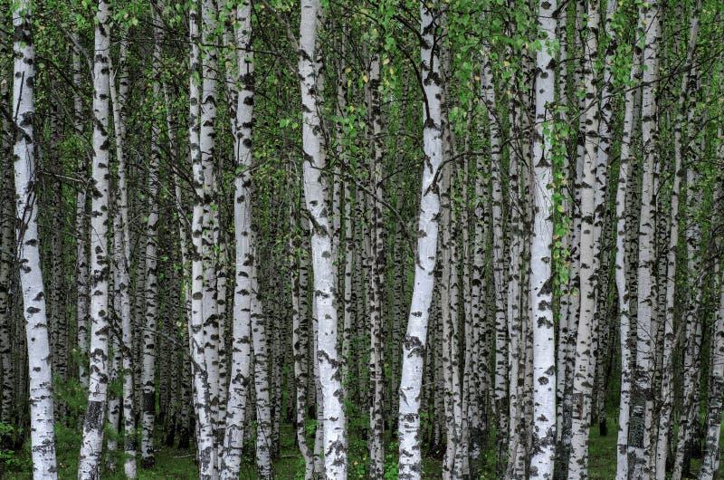 Het bosje van de berk stock afbeelding