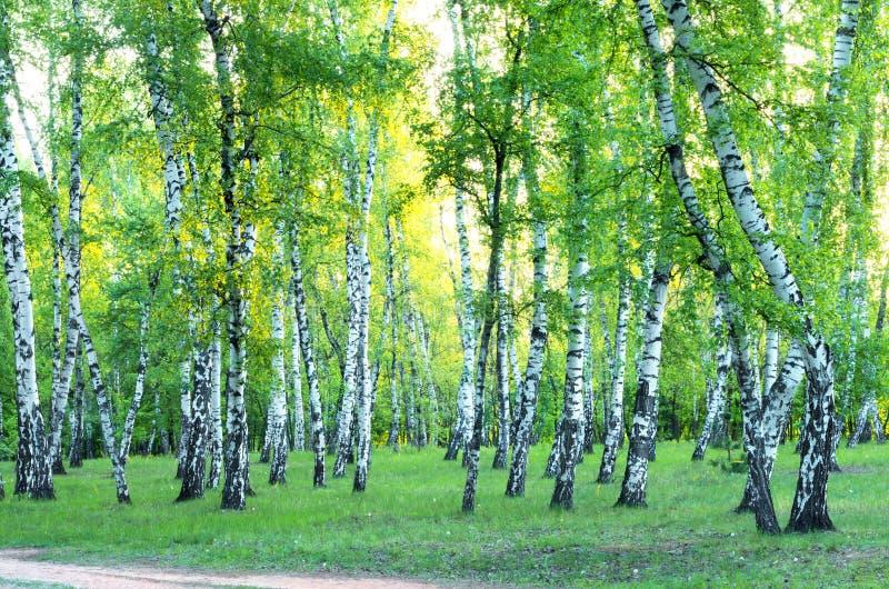 Het bosje van de berk De lente stock afbeeldingen