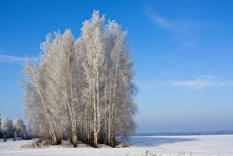 De bomen van de berk op een gebied royalty-vrije stock foto's
