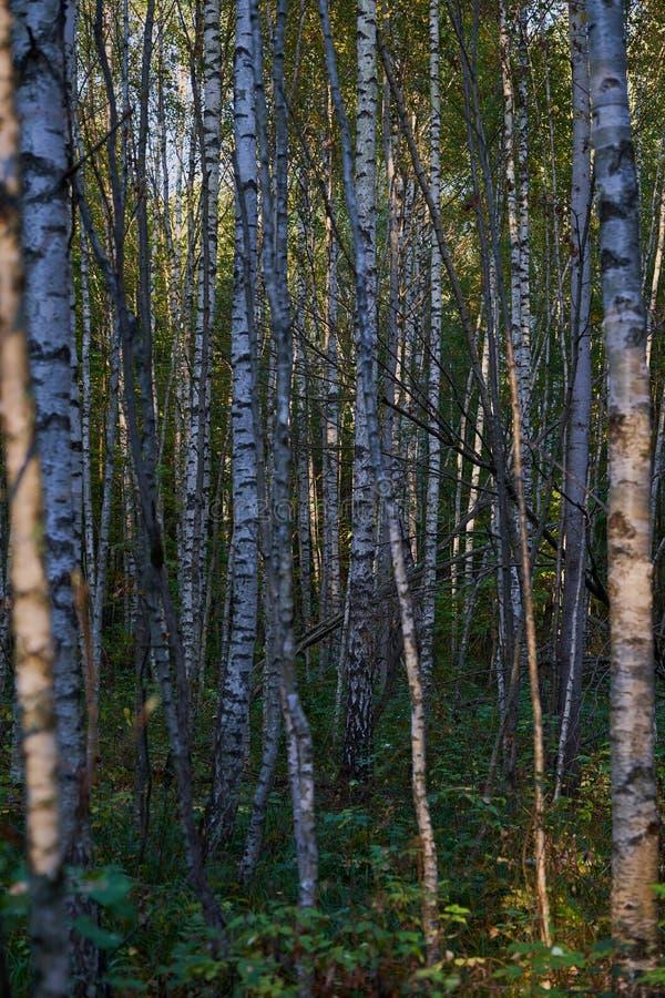 Het bosje van de berk Vele berkbomen die in een bos groeien royalty-vrije stock fotografie