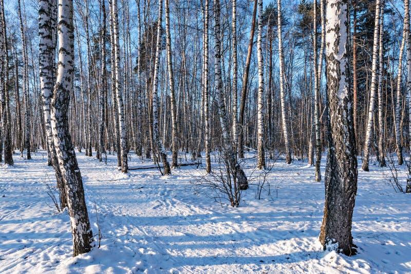 Het bosje van de berkboom royalty-vrije stock foto's