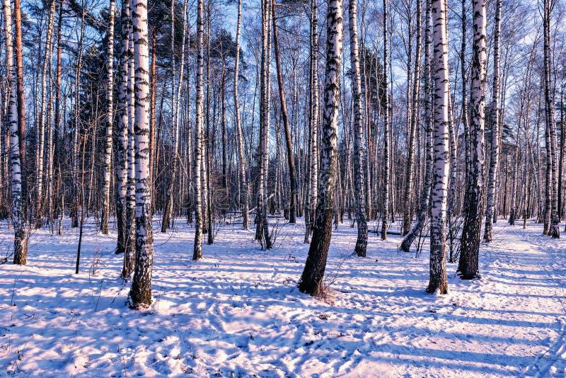 Het bosje van de berkboom stock afbeelding
