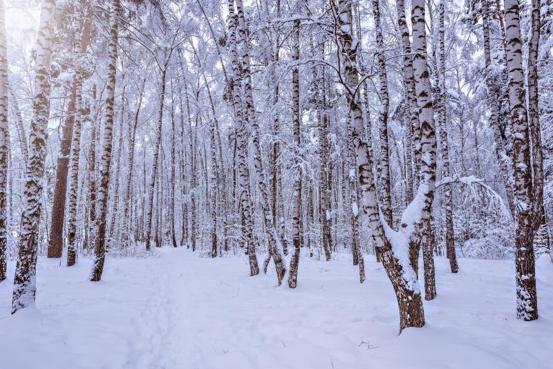 Het bosje van de berkboom stock fotografie