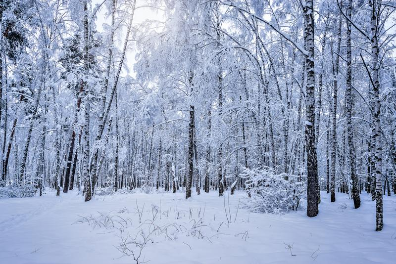 Het bosje van de berkboom stock foto