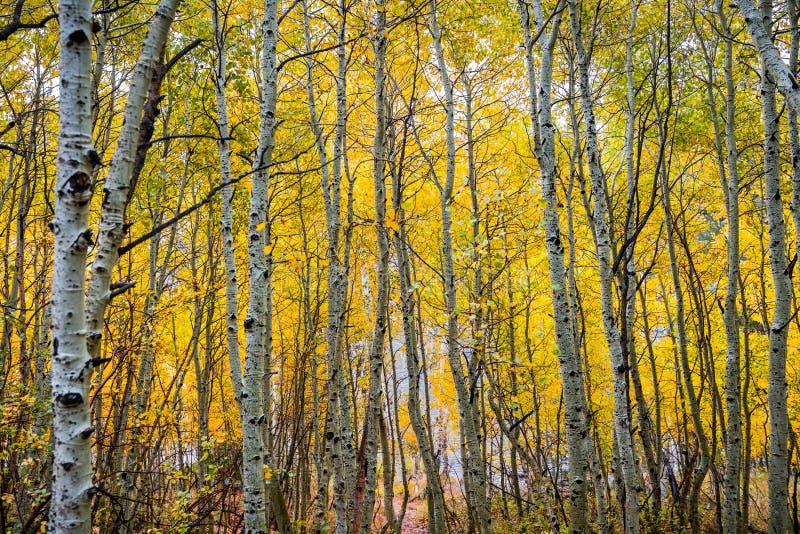 Het bosje van de espboom, Californië stock fotografie