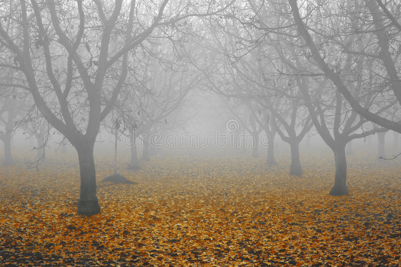 Het Bosje van de okkernoot in Mist royalty-vrije stock fotografie