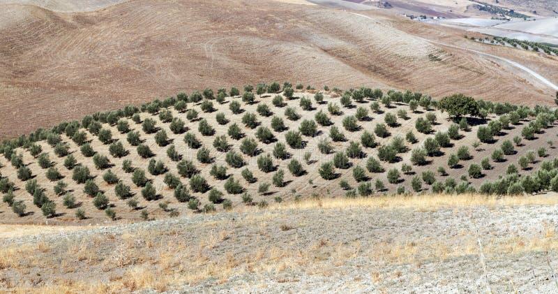 Het bosje van de olijf en droge gebieden royalty-vrije stock afbeeldingen