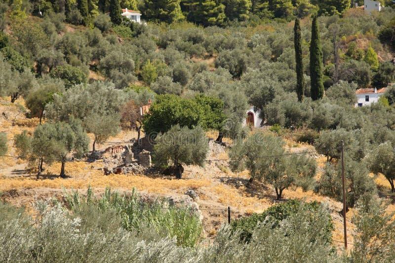 Het bosje van de olijf in Griekenland royalty-vrije stock foto's
