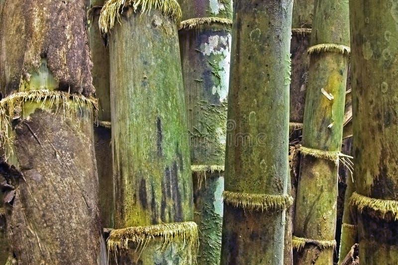 Het bosje van het bamboe stock afbeelding