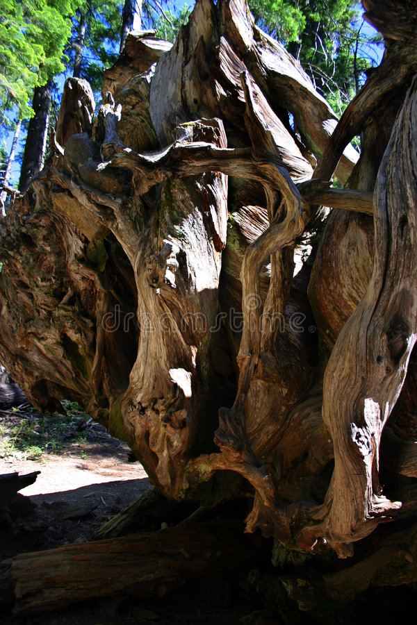 Het Bosje van Mariposa, Nationaal Park Yosemite royalty-vrije stock foto