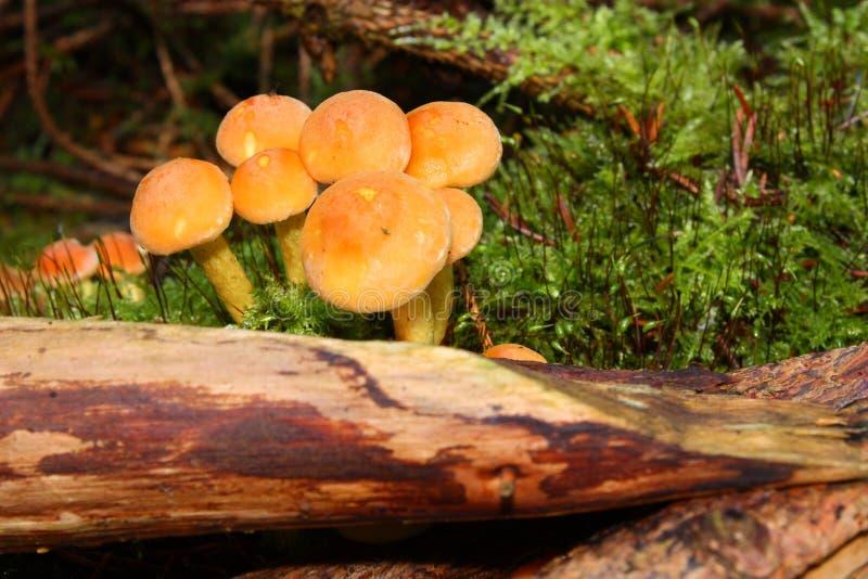 Het Bosjepaddestoel Van De Naaldboom Stock Foto