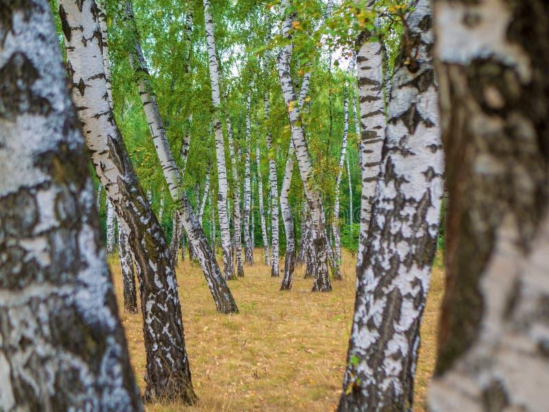 Het boslandschap van Autumn Birch met wildernis van de berk de bosaard royalty-vrije stock afbeeldingen