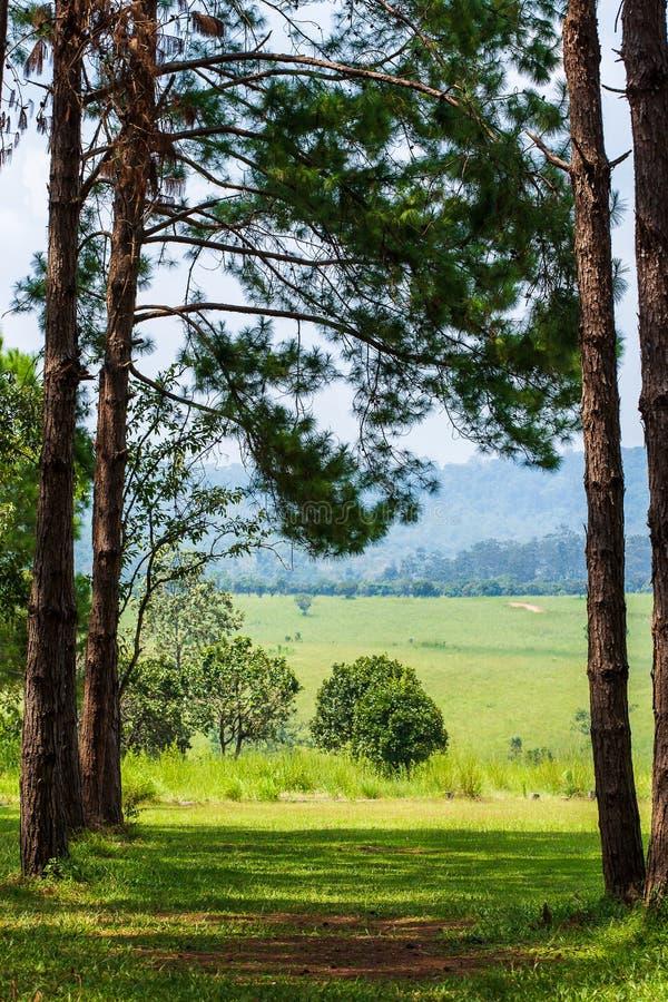 Het boslandschap van de pijnboomboom stock afbeelding