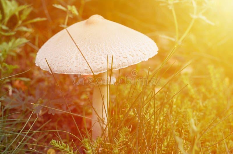 Het bospaddestoel groeien op het gazon in het boshuis voor bosbewoners Het huis van de fee royalty-vrije stock foto