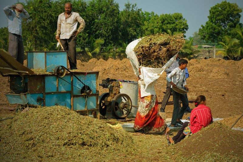 Het brengen in de pindaoogst in Gujarat royalty-vrije stock afbeeldingen