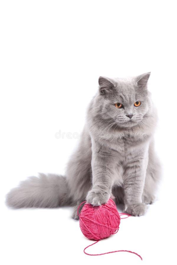 Het Britse katje spelen met roze geïsoleerde clew royalty-vrije stock foto