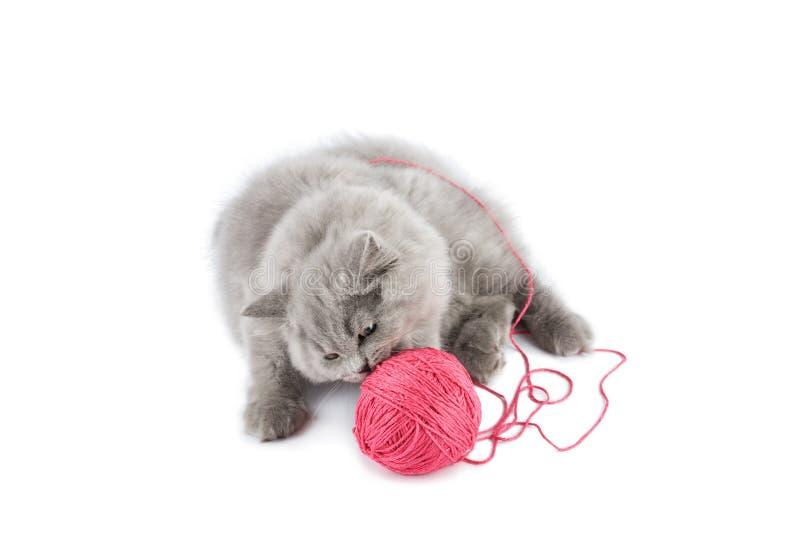 Het Britse katje spelen met roze geïsoleerdk clew stock foto's