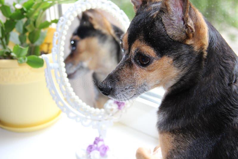 Het broeden hond stock foto