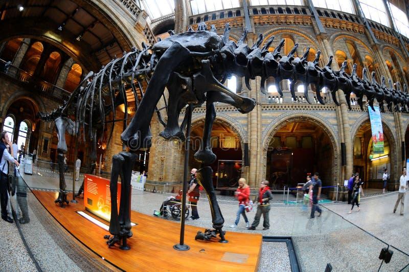 Het Brontosaurus skelet, de hub van het museum stock foto's