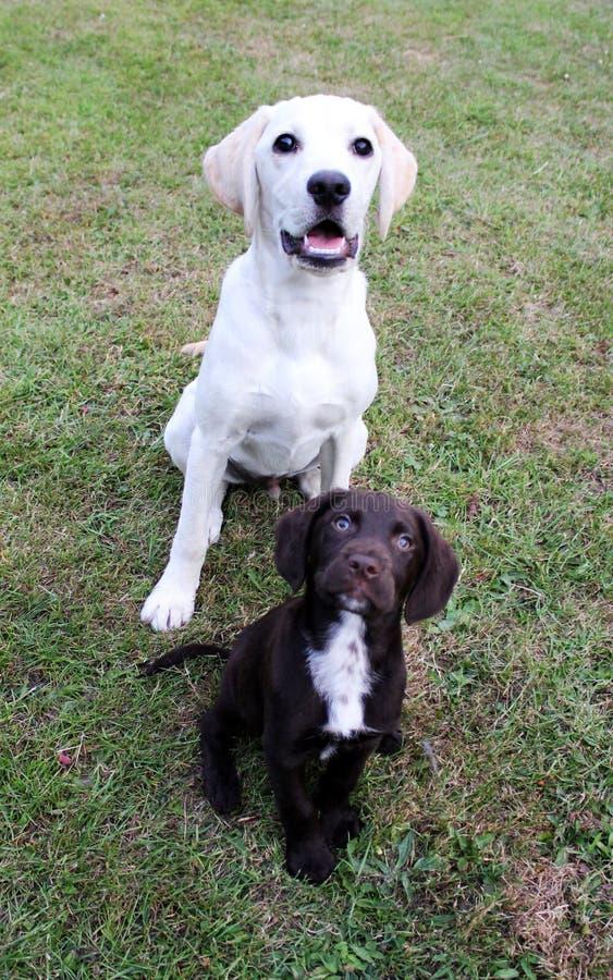 Het bruin leuk puppy en Labrador zaten het kijken portret stock afbeeldingen
